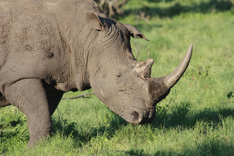 White Rhino. Ceros (Ceratotherium simum), grazing in a game park in South Africa royalty free stock image