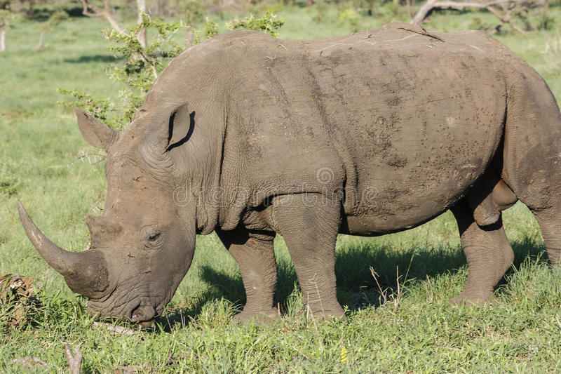 White Rhino. Ceros - (Ceratotherium simum), grazing in a game park in South Africa royalty free stock photo