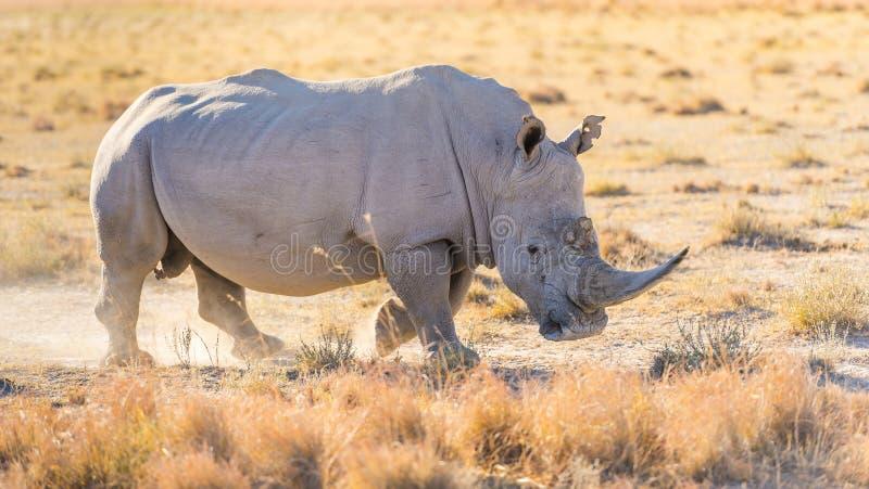 White Rhino. Or Rhinoceros while on safari in Botswana, Africa royalty free stock photography