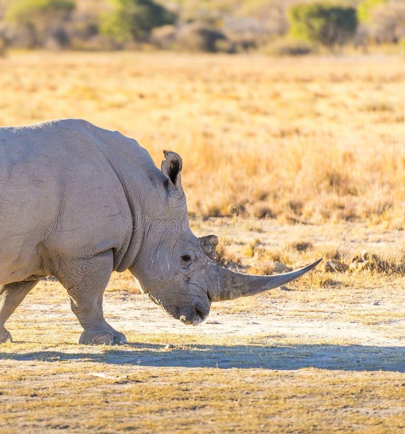White Rhino. Or Rhinoceros while on safari in Botswana, Africa royalty free stock images