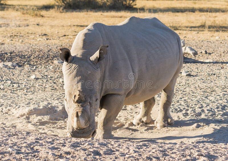 White Rhino. Or Rhinoceros while on safari in Botswana, Africa stock photo