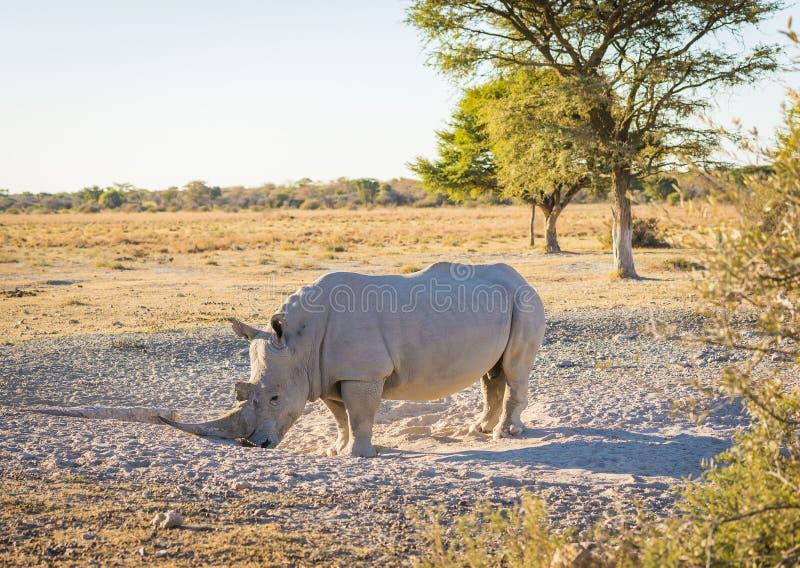 White Rhino. Or Rhinoceros while on safari in Botswana, Africa royalty free stock photos
