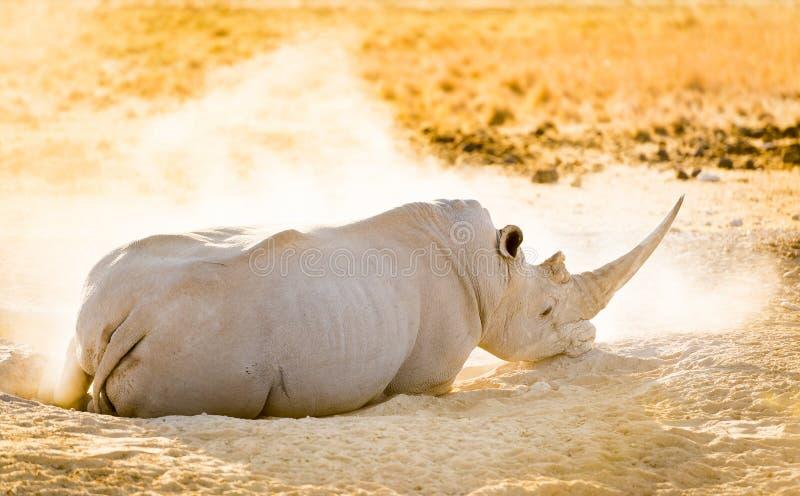 White Rhino. Or Rhinoceros while on safari in Botswana, Africa royalty free stock photo