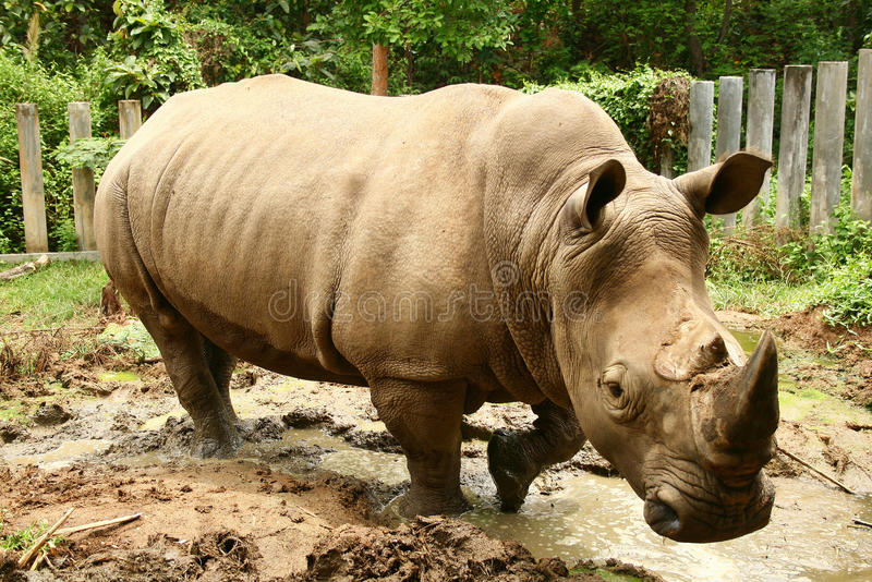 White Rhino. The white rhinoceros or square-lipped rhinoceros (Ceratotherium simum) is the largest and most numerous species of rhinoceros that exists royalty free stock image