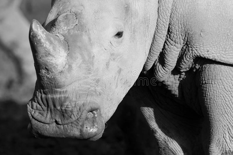 White rhino. S are the largest species of rhino stock image