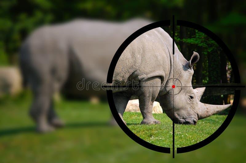 White Rhino in the Rifle Sight. Big game hunting - White rhino in the rifle sight stock image