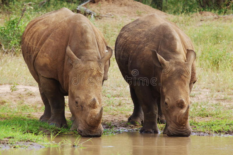 White Rhino's royalty free stock photography