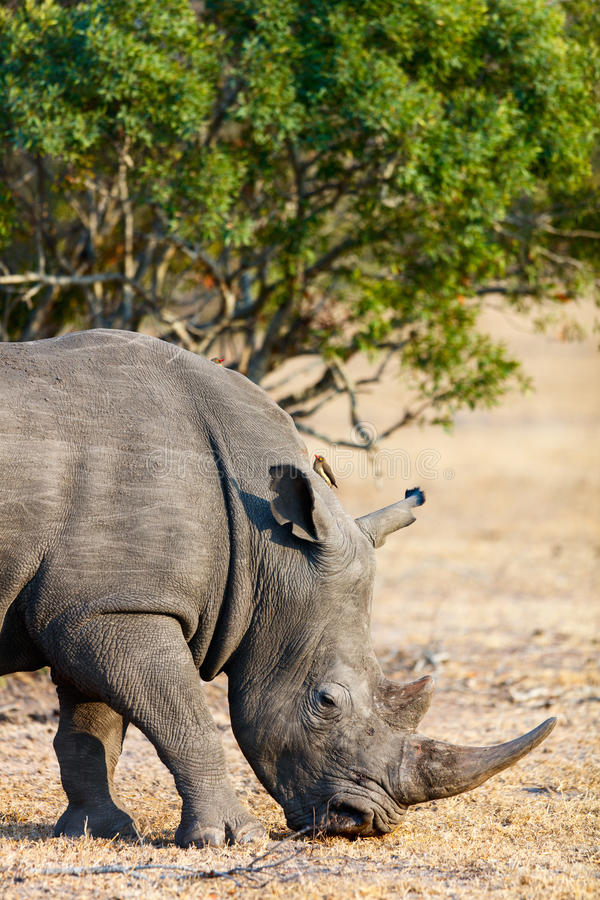 White rhino in safari park. White rhino grazing in an open field in South Africa royalty free stock images