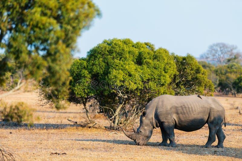 White rhino in safari park. White rhino grazing in safari park in South Africa royalty free stock images