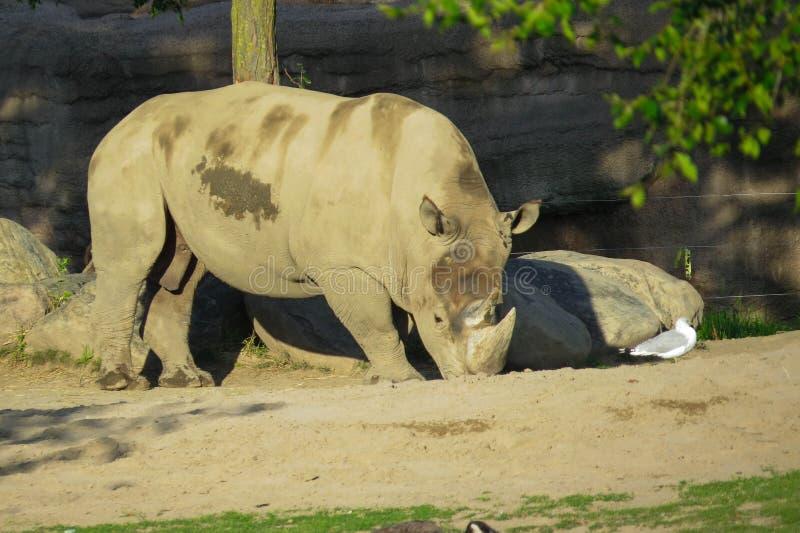 White Rhino. A shot of a white rhino eating royalty free stock photos