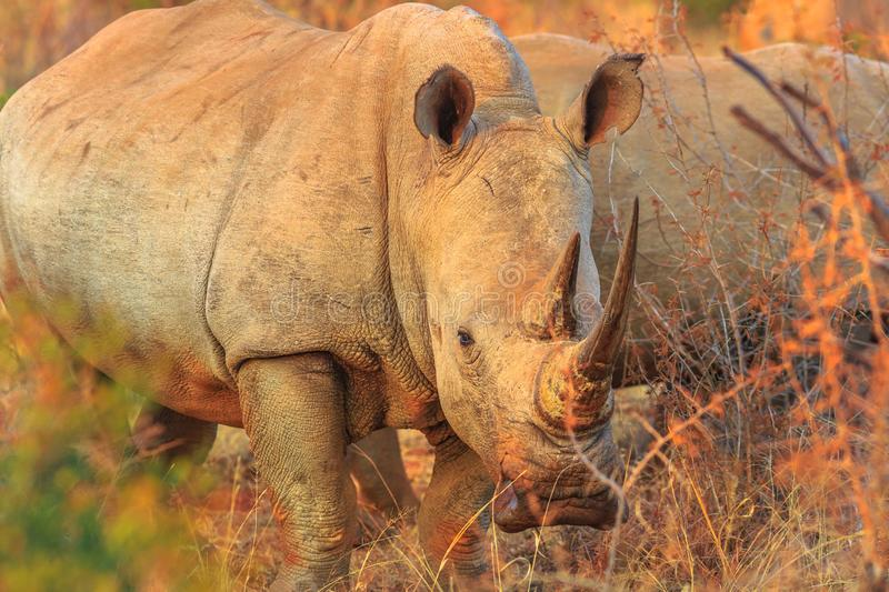 White Rhino South Africa. White Rhinoceros, subspecies Ceratotherium simum, also called camouflage rhinoceros at sunset light standing in bushland natural stock photography