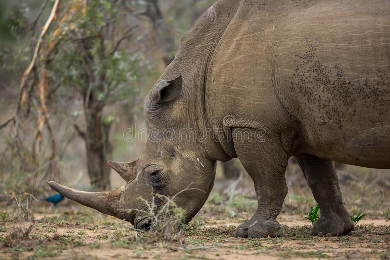 White Rhino in southern Africa. White rhino busy eating grass, photographed in southern Africa royalty free stock images