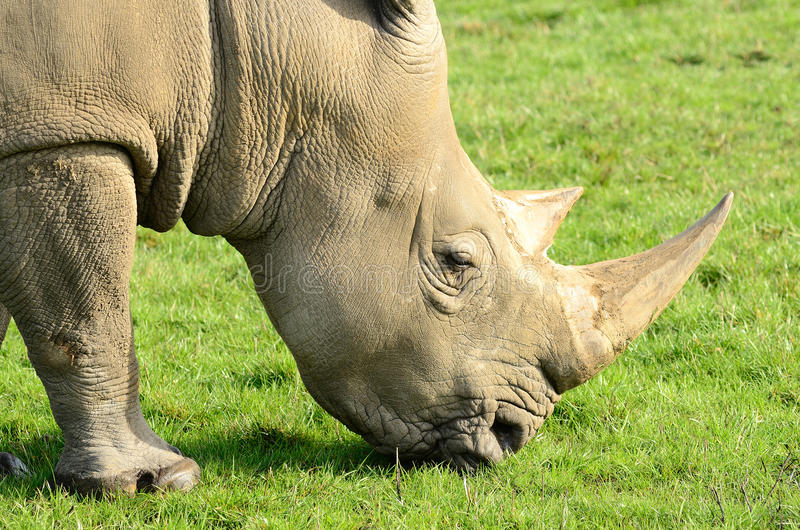 White Rhino. Southern White Rhino grazing in a green grass field stock photo