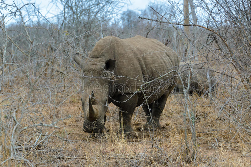 White rhino or square-lipped rhino in Hlane Royal National Park, Swaziland. White rhino or square-lipped rhino Ceratotherium simum in Hlane Royal National Park stock images