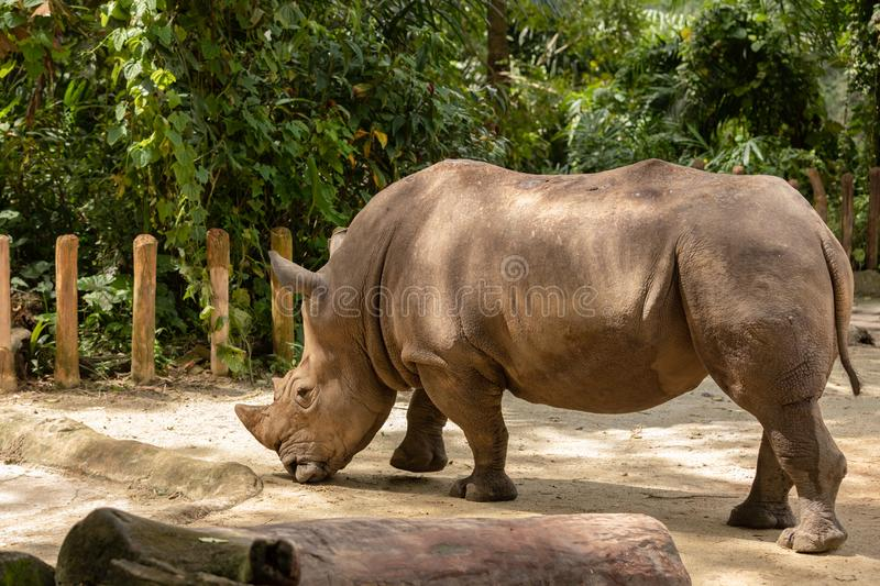 White rhino or square-lipped rhinoceros, Ceratotherium simum. Big male. The white rhino or square-lipped rhinoceros is the largest extant species of rhinoceros royalty free stock photos
