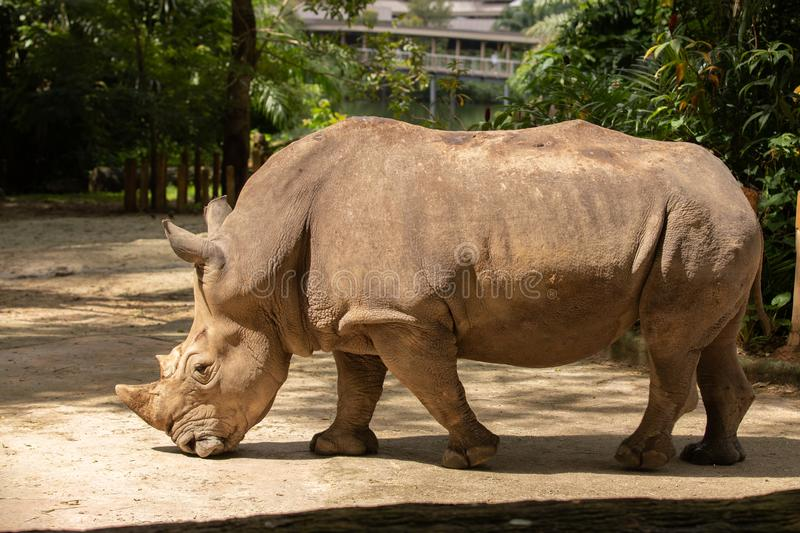 White rhino or square-lipped rhinoceros, Ceratotherium simum. Big male. The white rhino or square-lipped rhinoceros is the largest extant species of rhinoceros royalty free stock photography