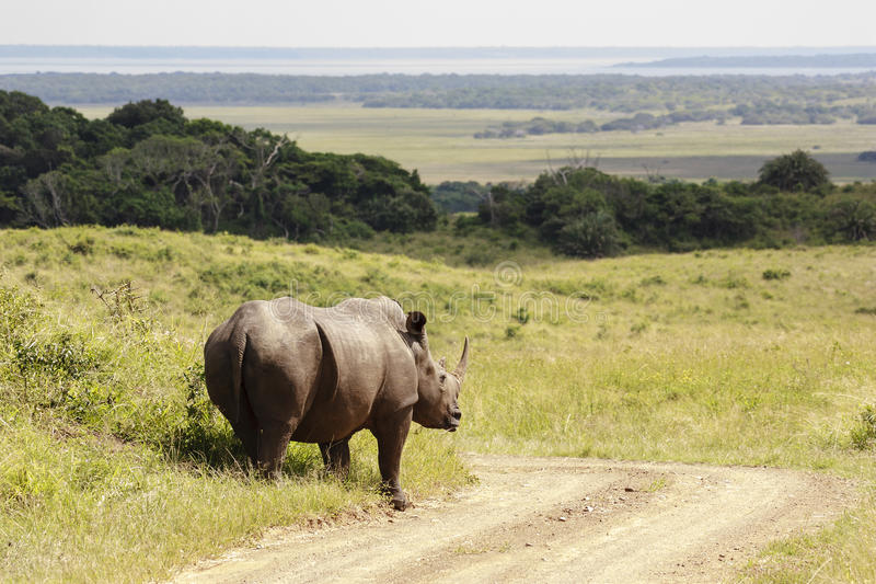 White Rhino. White (square-lipped) rhinoceros (Ceratotherium simum), in a game park - South Africa stock photo