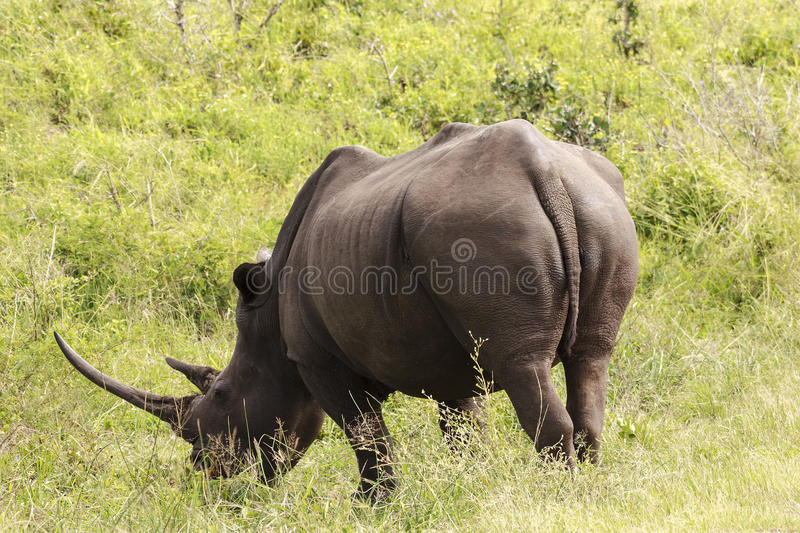 White Rhino. White (square-lipped) rhinoceros (Ceratotherium simum), with large horn - South Africa stock photography