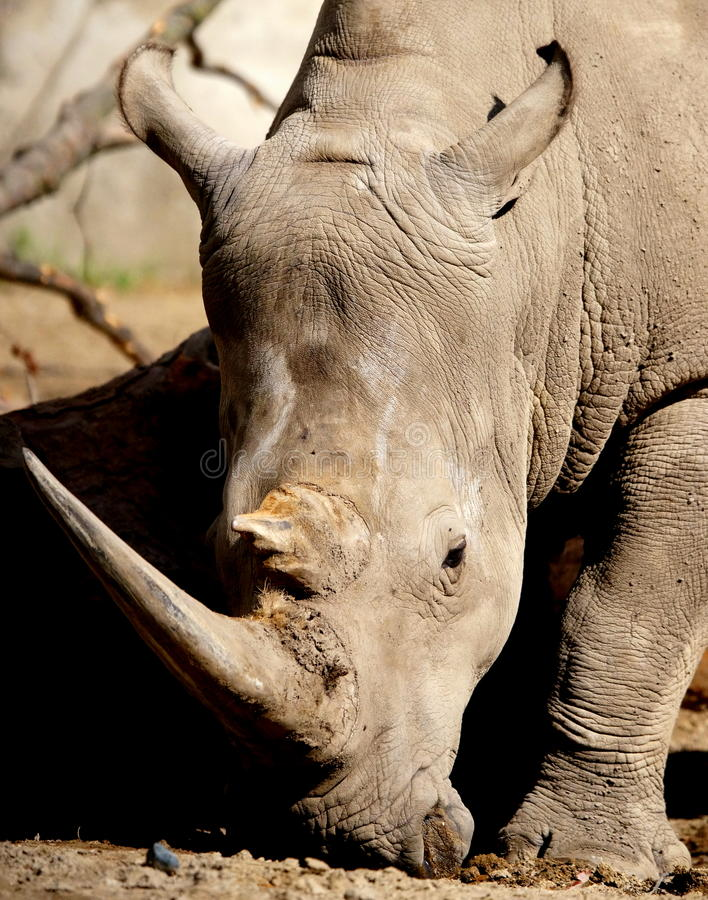 White Rhino. The white or square-lipped rhino or rhinoceros (Ceratotherium simum) is the largest species of rhinoceros existing. It has a wide mouth used for royalty free stock photo