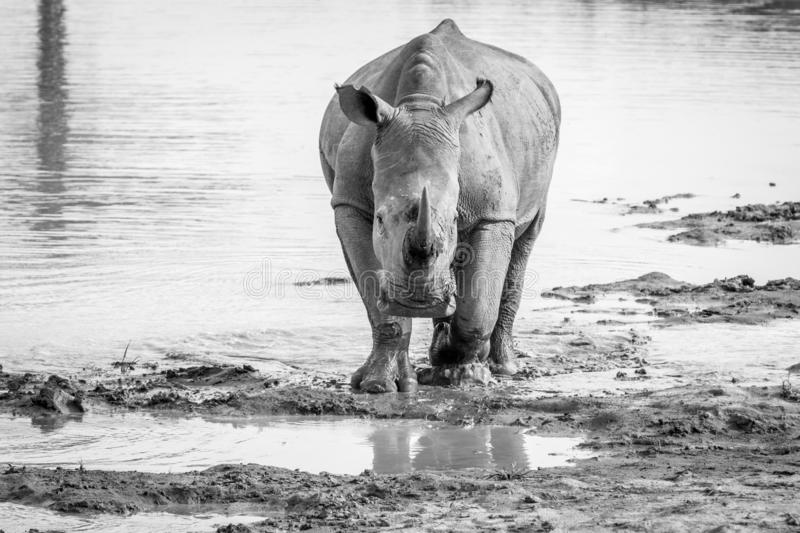 White rhino standing in the water. And starring at the camera in black and white, South Africa stock photo