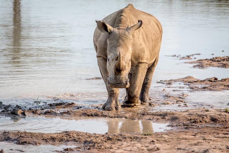 White rhino standing in the water. And starring at the camera, South Africa royalty free stock photos