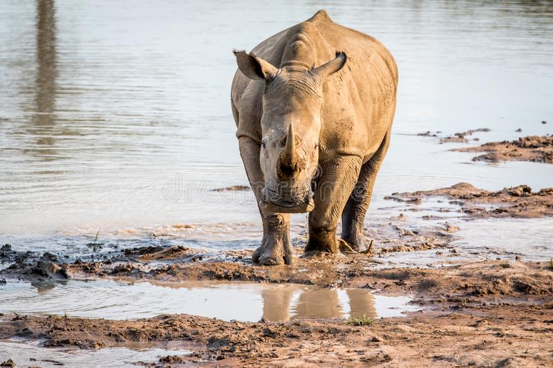 White rhino standing in the water. And starring at the camera, South Africa royalty free stock photography