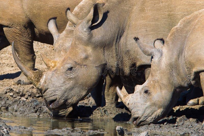 White Rhino. Two White Rhino (Ceratotherium simum) drinking at a waterhole, South Africa royalty free stock photos