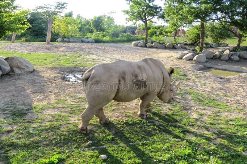 White Rhino. Walking away from the camera royalty free stock image