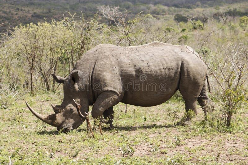 White Rhino walking. White Rhino captured in the wilderness of Hluhluwe Imfolozi Reserve, KwaZulu-Natal, South Africa royalty free stock photography