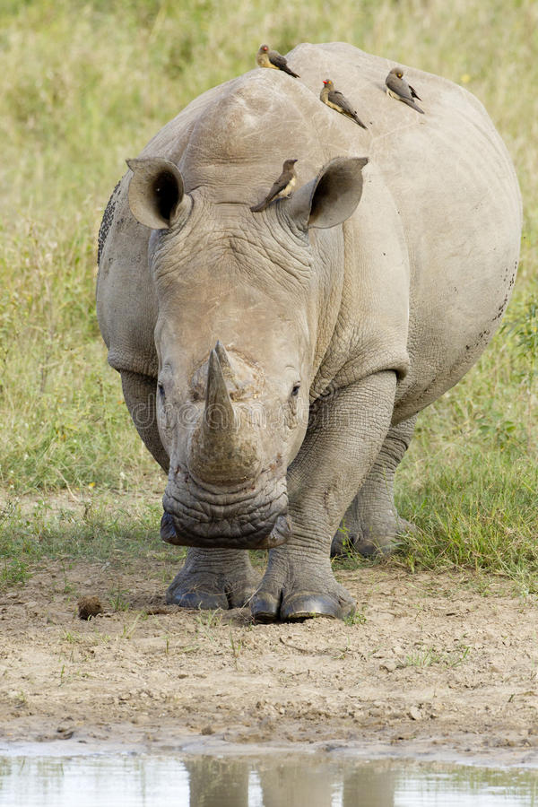 White Rhino walking, South Africa. White Rhino (Ceratotherium simum) walking head on towards water in South Africa's Kruger Park stock photo