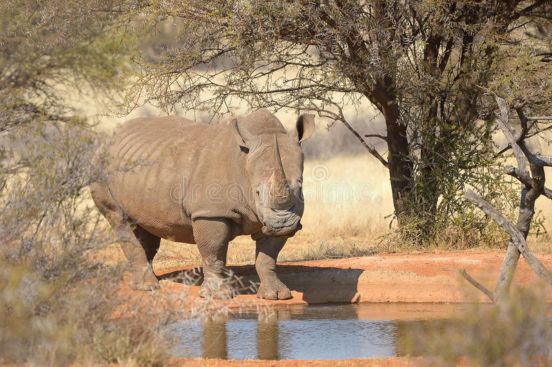 White rhino at waterhole stock photos