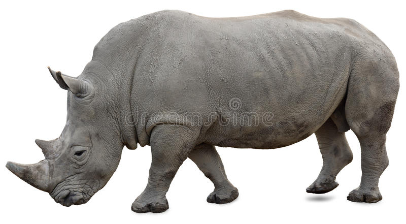A white rhino on a white background. Yet visible royalty free stock photos