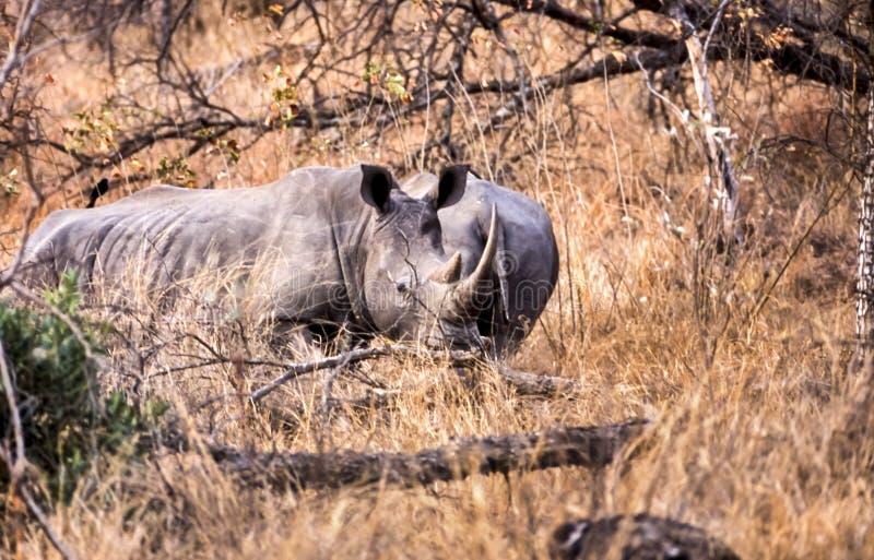 White Rhino. Ceratotherium simum, Kruger National Park, Mpumalanga, South Africa, Africa stock photos