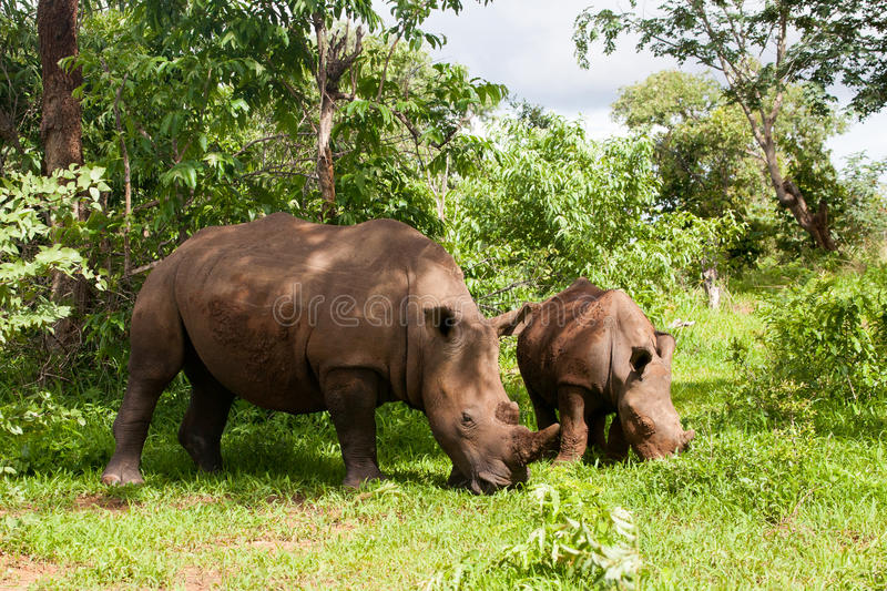 White Rhino with young. In Mosi-oa Tunya Nation Park, Zambia, Africa royalty free stock images