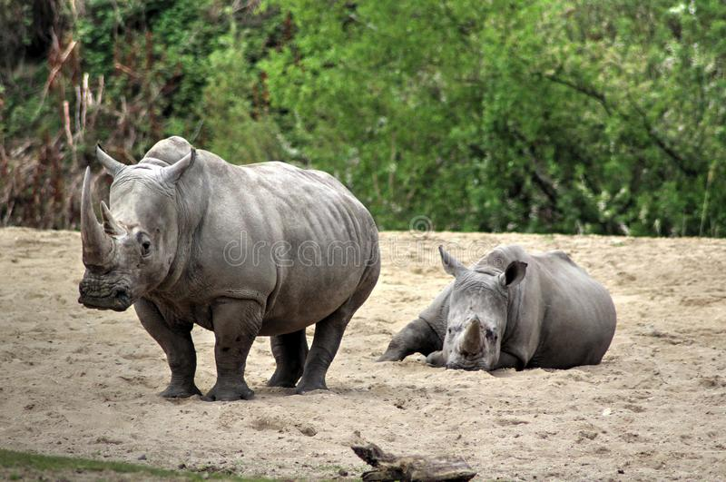White rhino with young royalty free stock photos