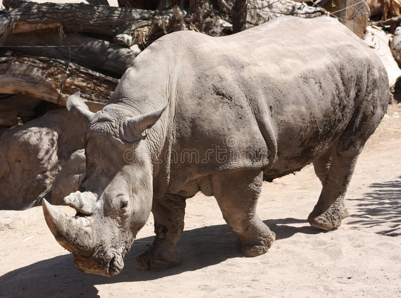 White rhinoceros. A white rhino (aka square-lipped) paces through the enclosure at the rio grande zoo located in albuquerque, new mexico, usa stock images