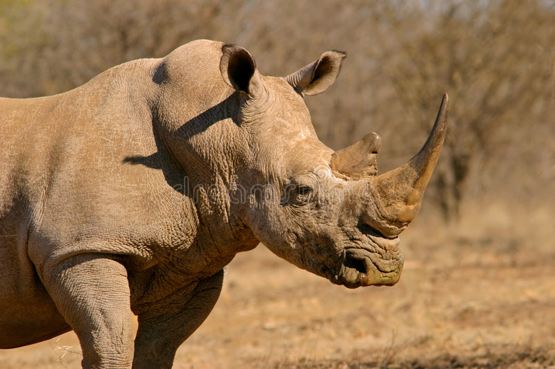 White rhinoceros. Portrait of a white (square-lipped) rhinoceros (Ceratotherium simum), South Africa royalty free stock photos