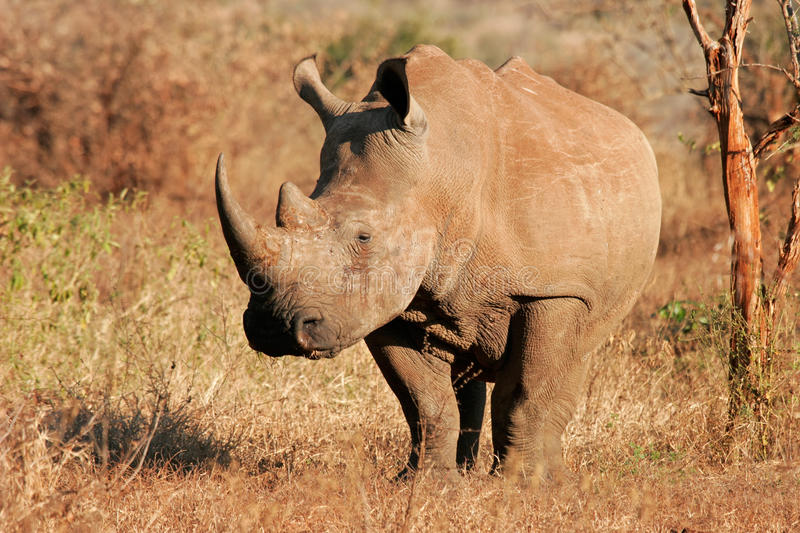 White rhinoceros. White (square-lipped) rhinoceros (Ceratotherium simum), Kruger National Park, South Africa royalty free stock images