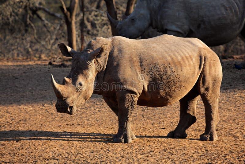 White rhinoceros. White (square-lipped) rhinoceros (Ceratotherium simum), Mkuze game reserve, South Africa royalty free stock photography