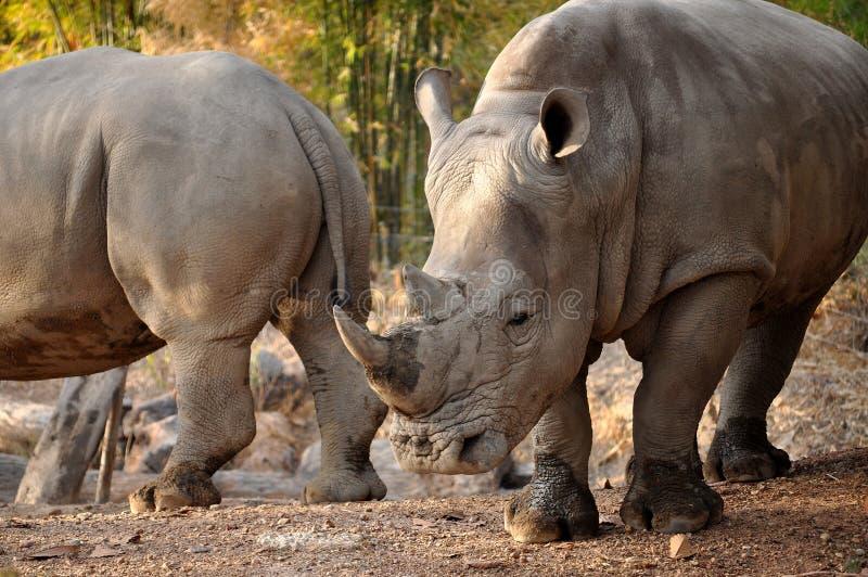 Download The White Rhinoceros stock image. Image of animal, park - 26673723