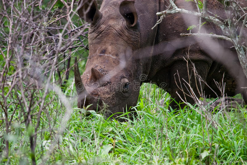 Download White Rhinoceros stock photo. Image of hluhluwe, africa - 27901164