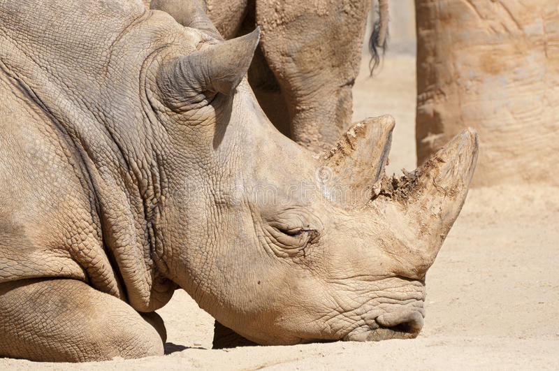 White Rhinoceros. Ceratotherium simum. It is one of the five species of rhinoceros that still exist. It found in Africa royalty free stock photography