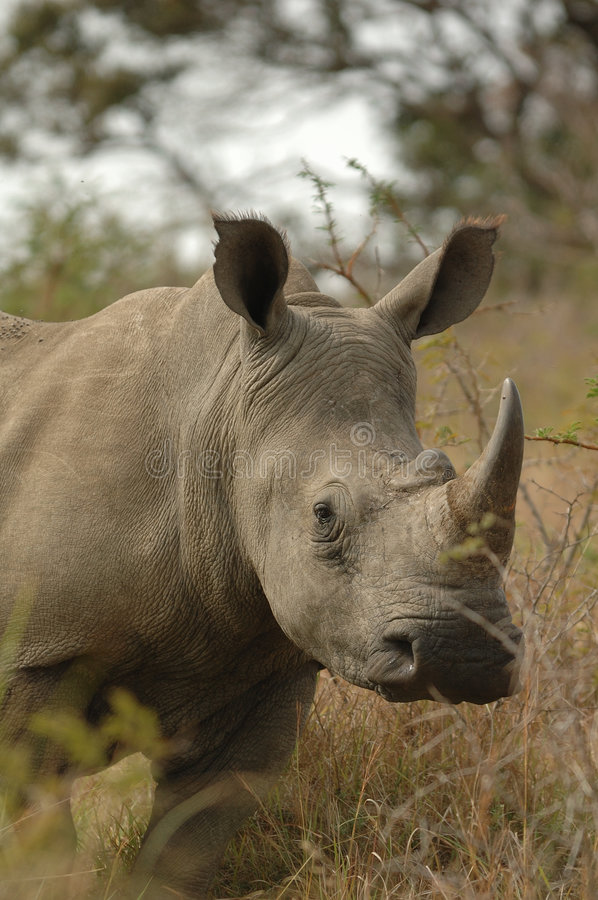White Rhinoceros. White rhinos (Ceratotherium simum) on its way (South Africa stock photography