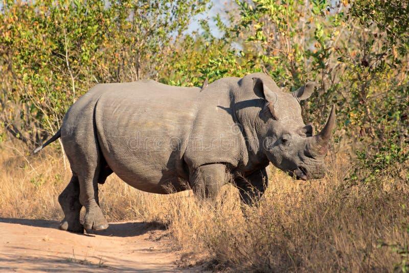 White rhinoceros. White (square-lipped) rhinoceros (Ceratotherium simum), South Africa royalty free stock photography