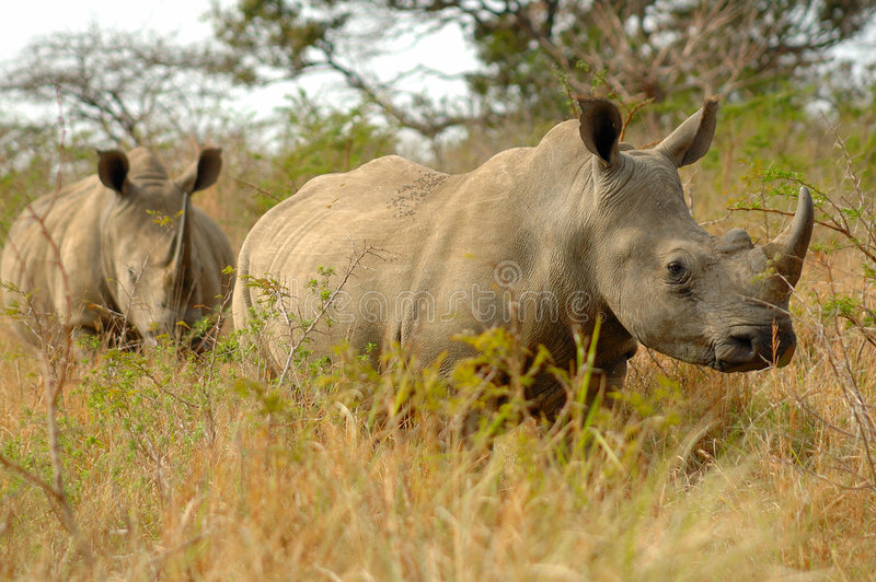 Download White Rhinoceros stock image. Image of flora, park, africa - 5045967