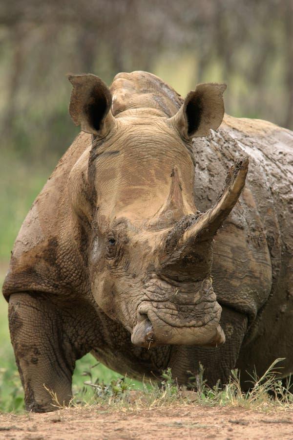 White rhinoceros. White (square-lipped) rhinoceros (Ceratotherium simum) after a mud bath, Pilanesberg National Park, South Africa royalty free stock image