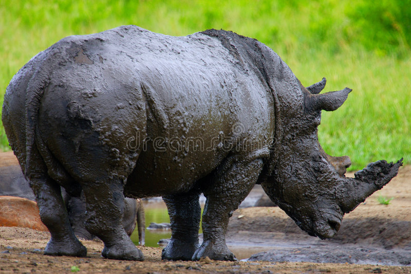 Download White Rhinoceros stock photo. Image of rhinoceros, wild - 7321684
