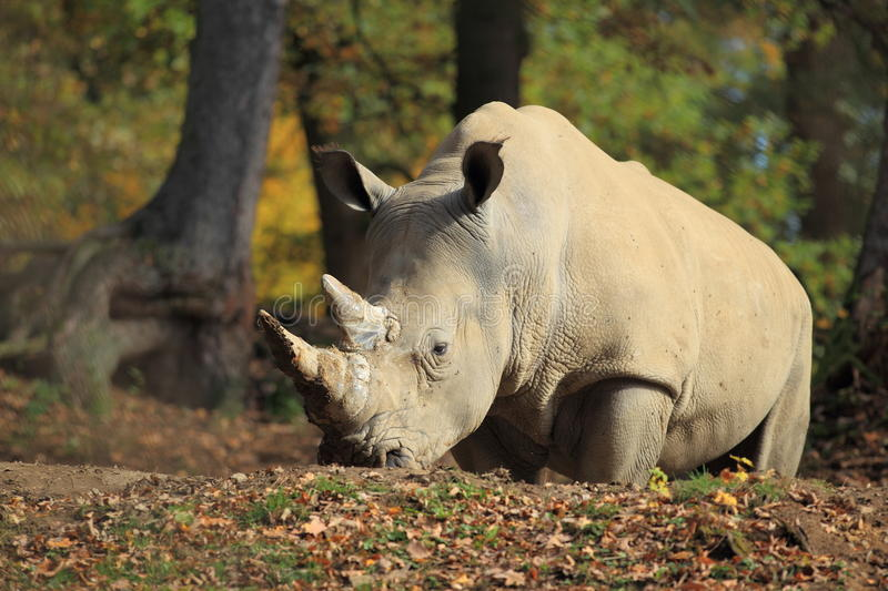 White rhinoceros. The adult white rhinoceros in the soil royalty free stock photo