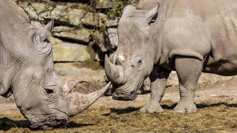 White Rhinoceros royalty free stock images
