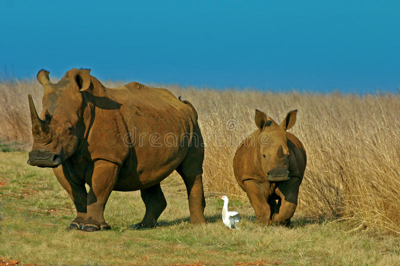 White Rhinoceros and calf. In the National Park royalty free stock photography